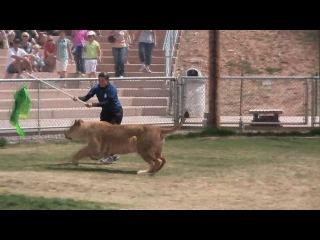 Львица и Белый Тигр